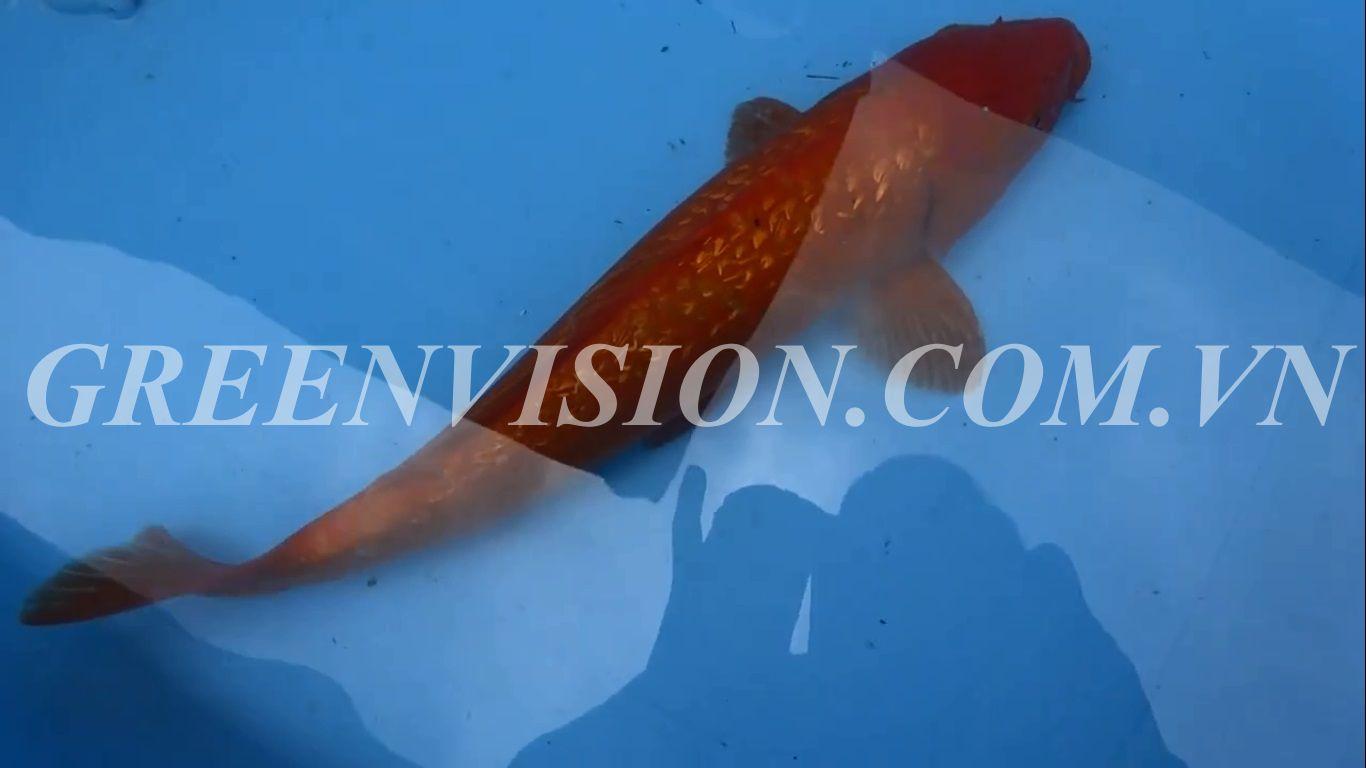 Cá Koi Nhật Ginrin Benigoi