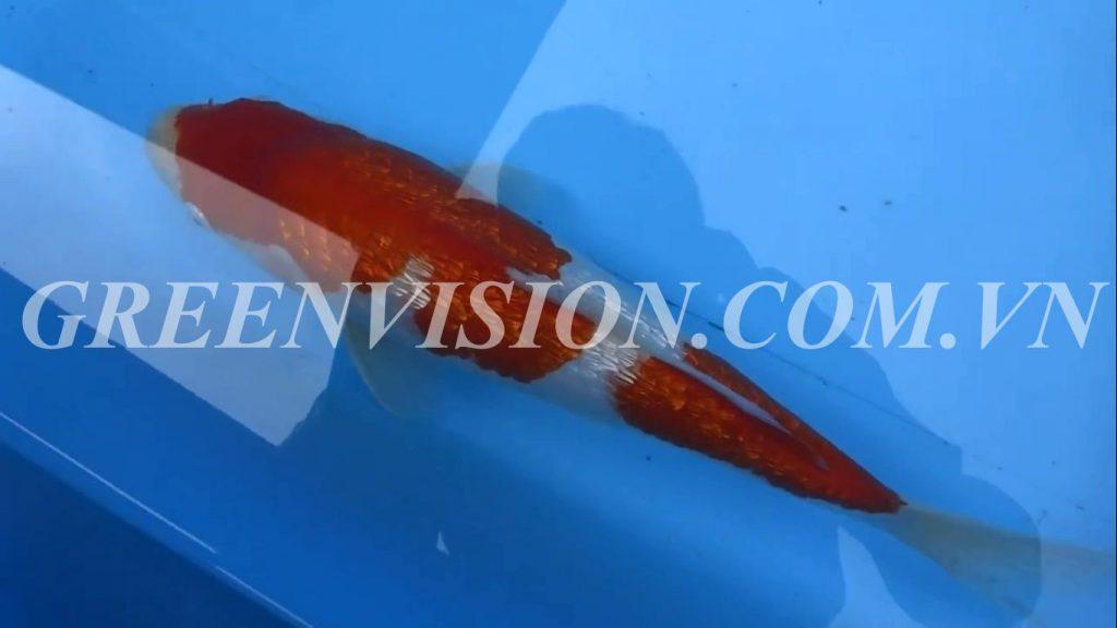 Ginrin Kohaku 41cm_result