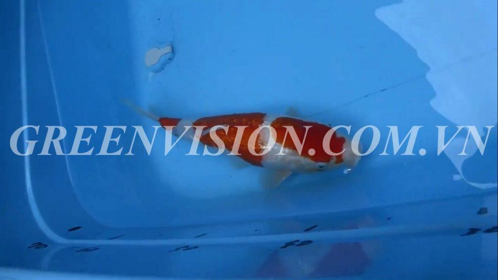 Ginrin Kohaku 42cm_result