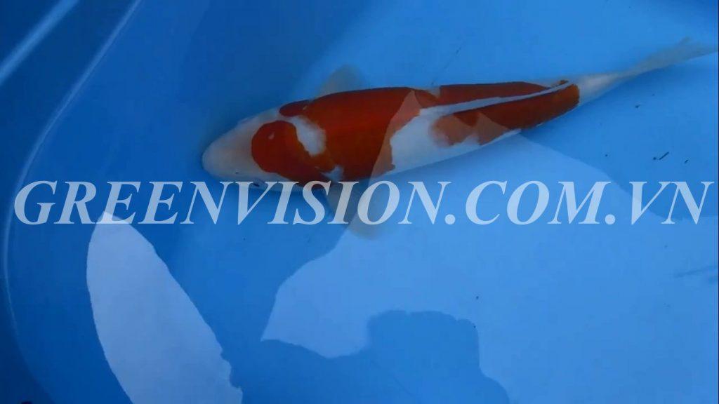 Kohaku 46cm_result