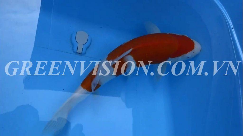 Kohaku 47cm 800_result