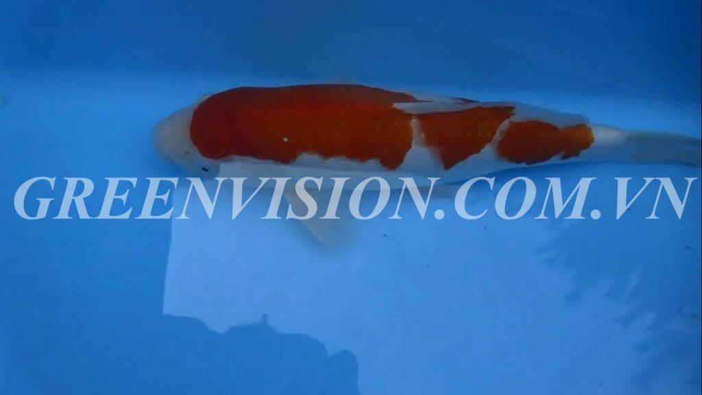 Kohaku 47cm_result