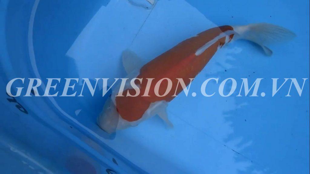 Kohaku 51cm_result