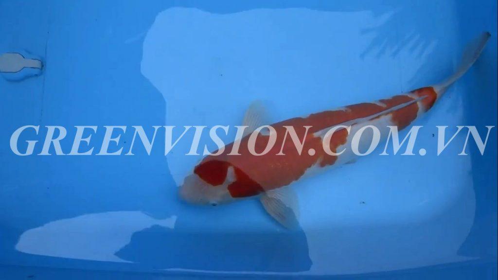 Kohaku 52cm_result