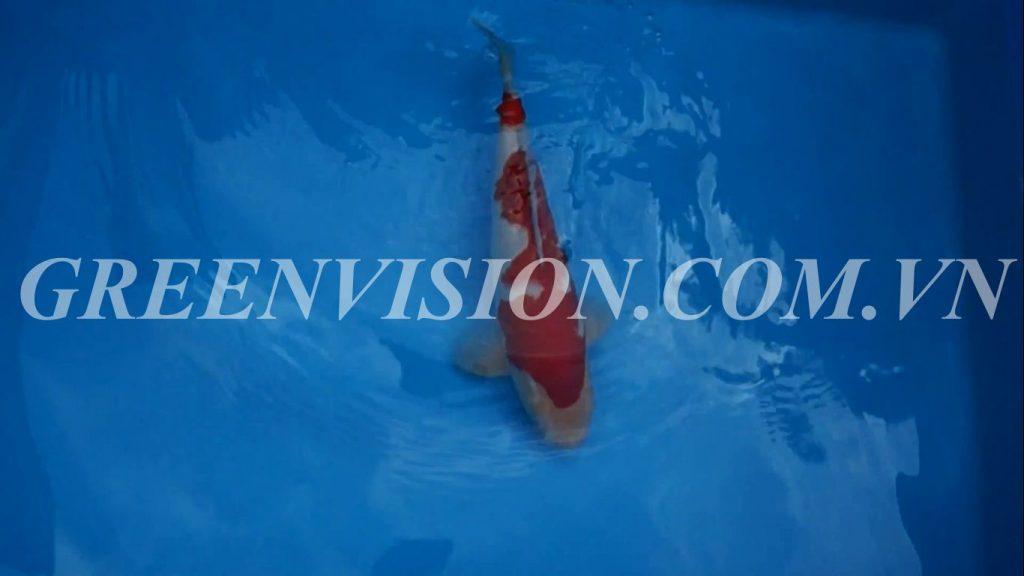 Kohaku 53cm_result